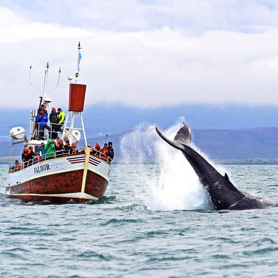 A humpback whale off of Húsavík.