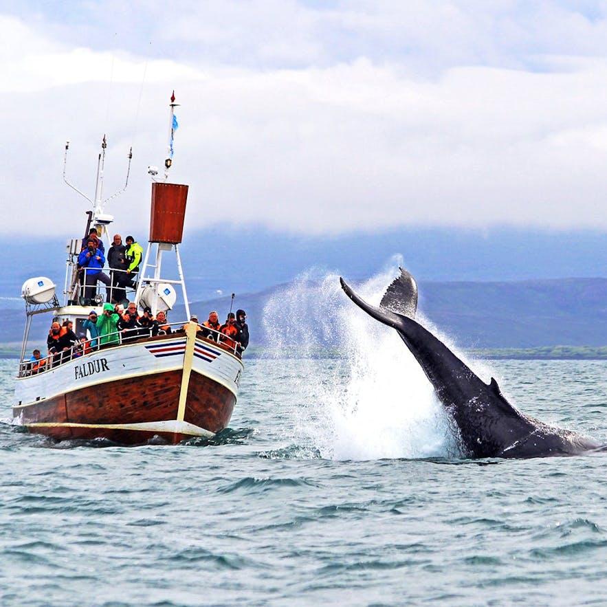 Tradycyjny rejs oglądania wielorybów na Islandii, startujący z Husaviku.