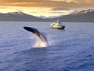 Reykjavik - Whale Watching