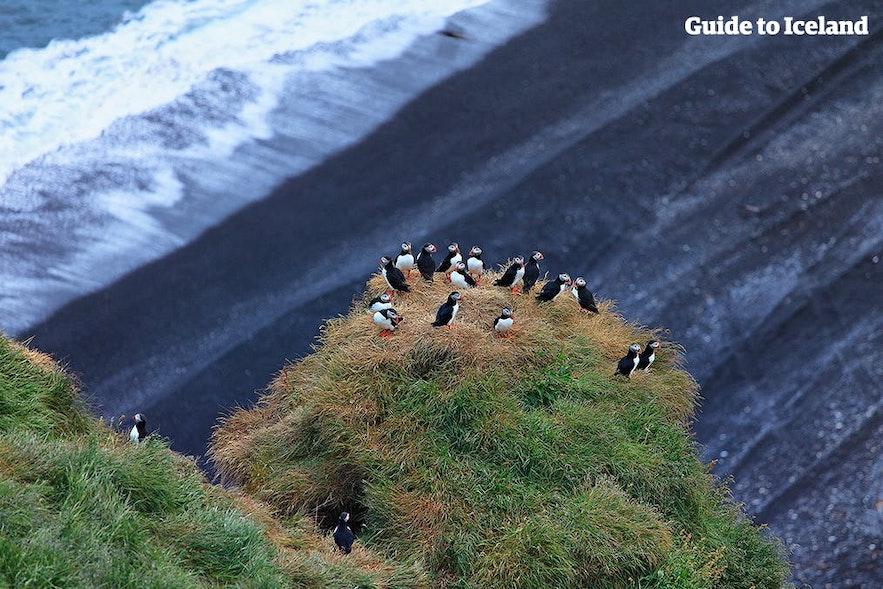 Maskonury siedzące na klifie przy czarnej plaży.