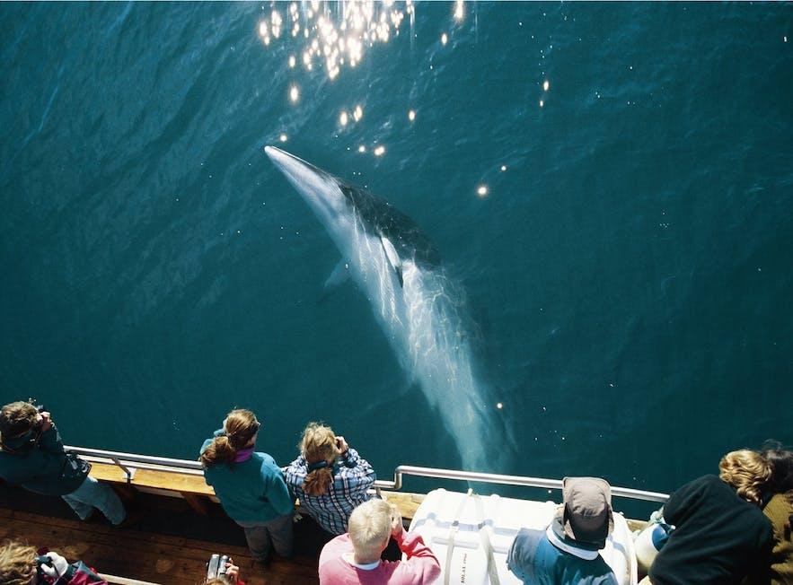 고래 관측 보트 아래를 지나가는 밍크 고래