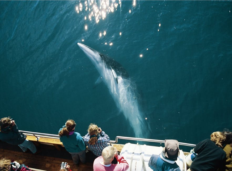 A Minke Whale passes below the hull of a whale watching boat.