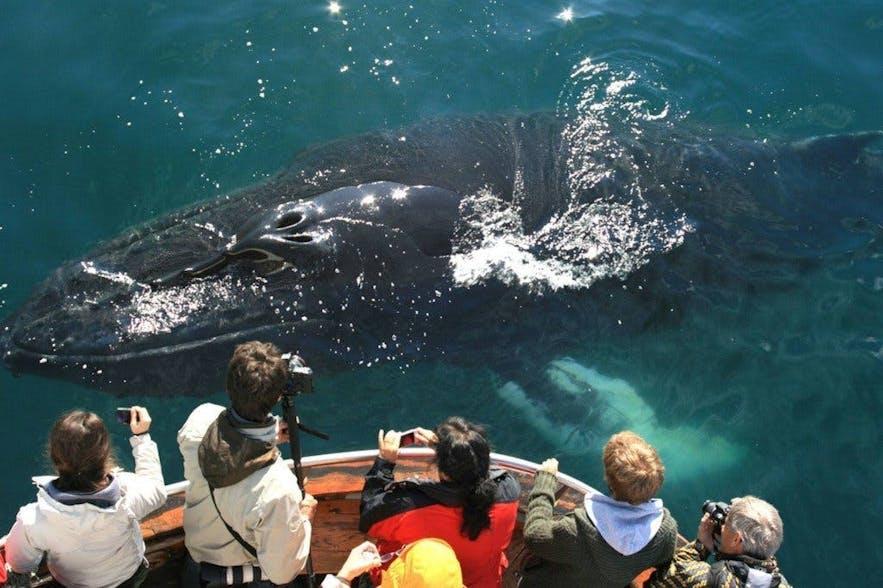 아이슬란드에서 혹등고래는 수렵 대상이 아니기 때문에 사람이 탄 보트를 무서워하지 않습니다. 반면 밍크고래는 조금 더 조심성이 많아요.