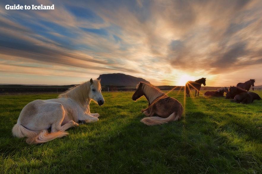 横になってくつろいでいるアイスランドホース