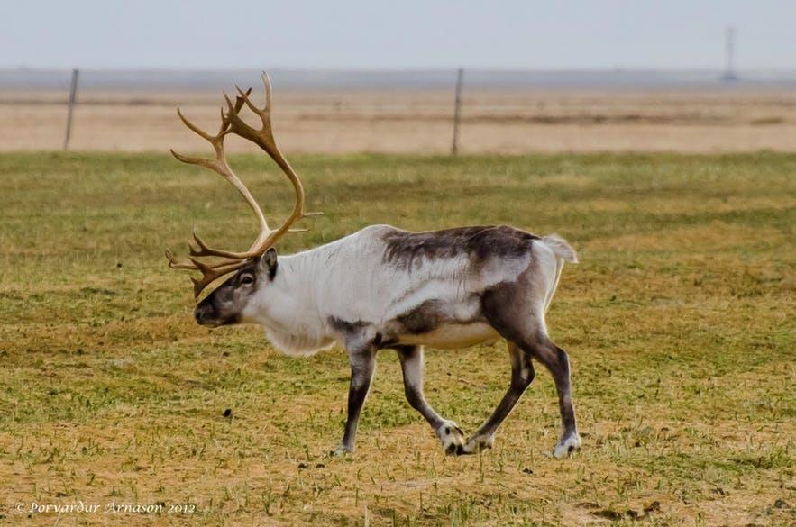 A wild reindeer.