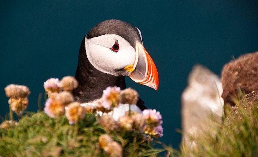 冰岛国鸟海鹦