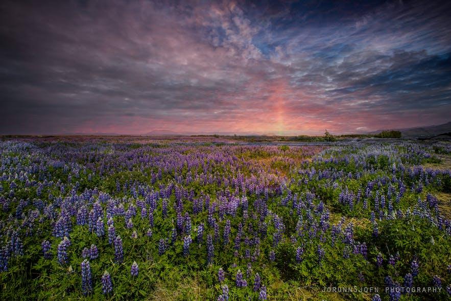 粉色的浪漫夏日冰岛