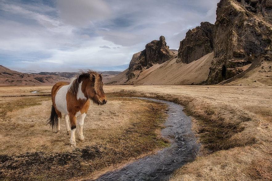 Das Islandpferd ist robust und gut an die raue Umgebung angepasst, in der es aufgewachsen ist
