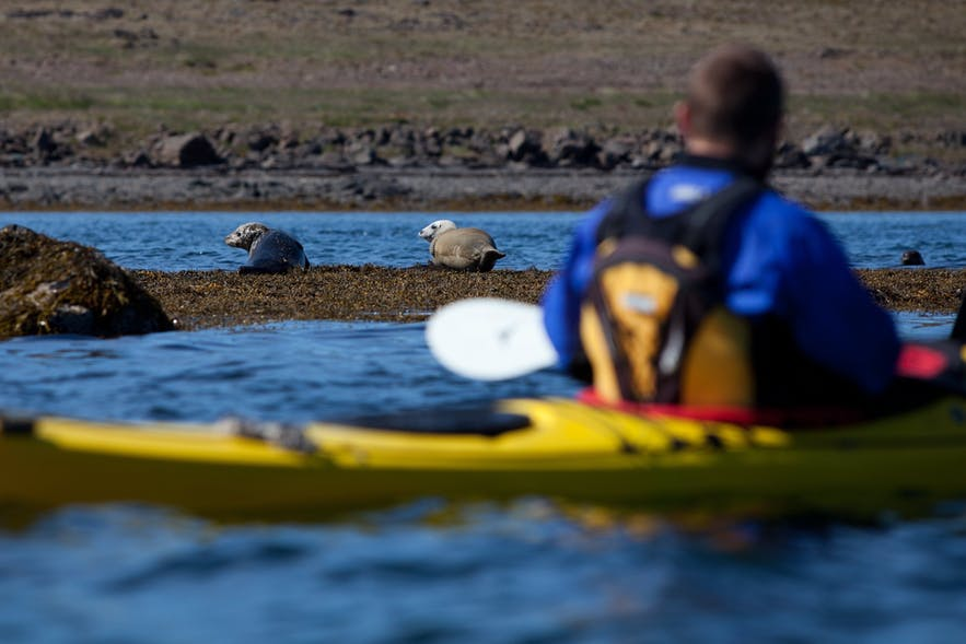 A kayaker gets up close and personal with some seals.
