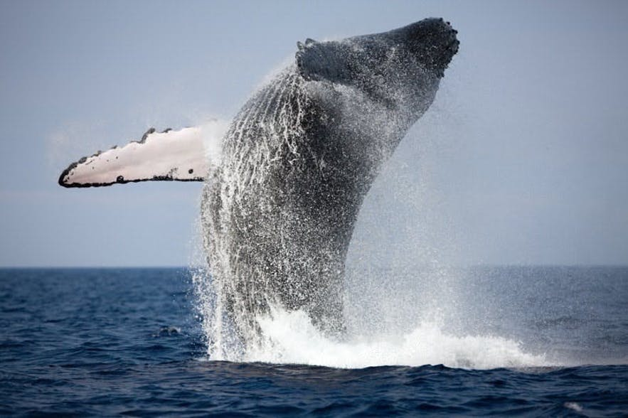 A humpback whale breaching the water's surface.