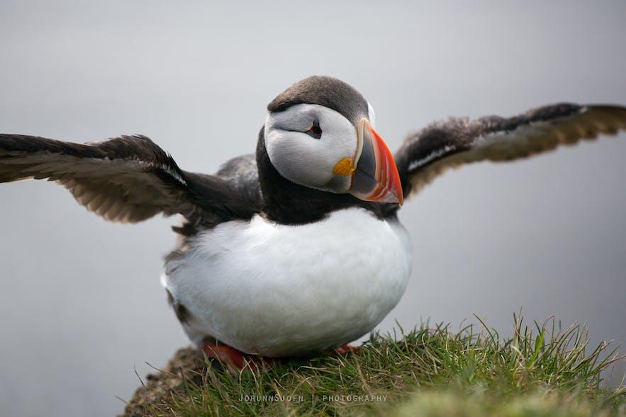 puffin bird in Iceland