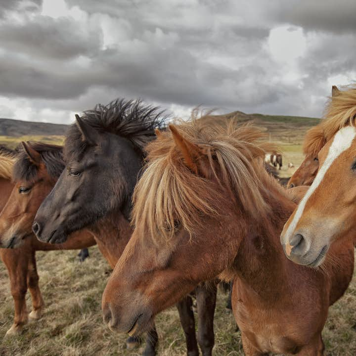 The friendly Icelandic horse is one of the most alluring parts of Iceland.