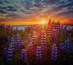 Much of the landscape in Iceland is covered with the non-native purple Lupin flower.