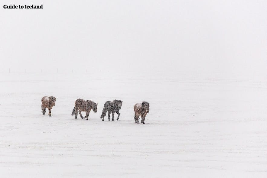 Icelandic horses do not mind the January chill