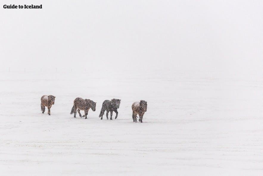 1月でも外に放牧されている馬