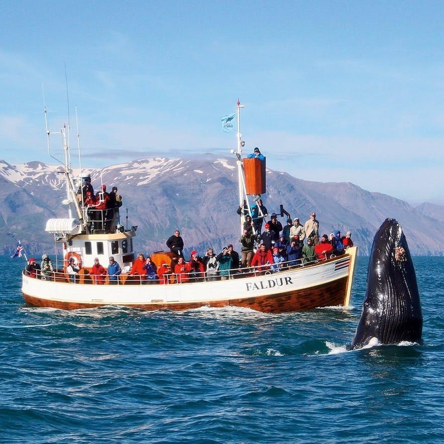 冰島胡薩維克觀鯨小鎮觀鯨