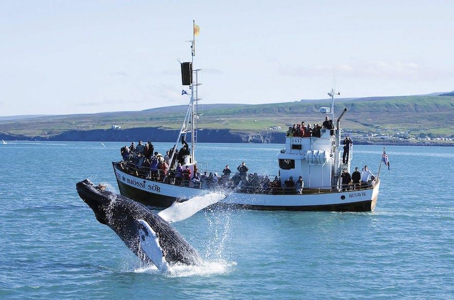 ブリーチングしているザトウクジラ