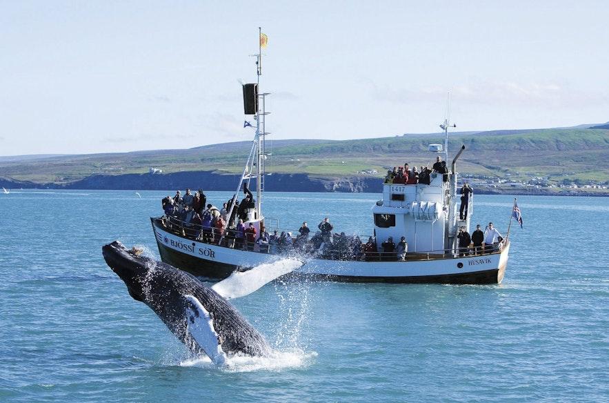 Oglądanie wielorybów na Islandii jest realizowane w różnych częściach wyspy