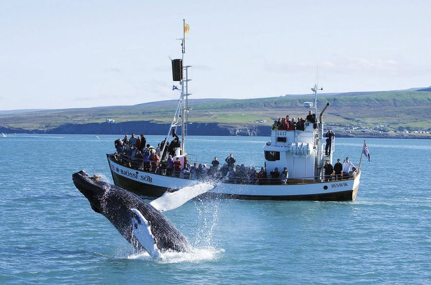 Une baleine à bosse en spectacle en Islande : possible en mars