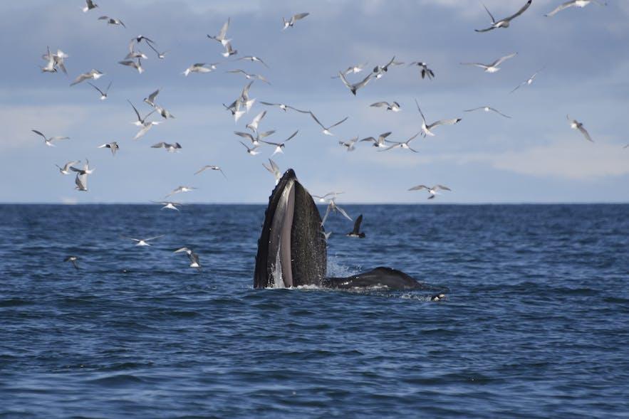 水面に顔を出す、スパイホップをしているクジラ