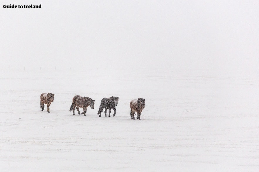 Icelandic horses are well adapted to the snow