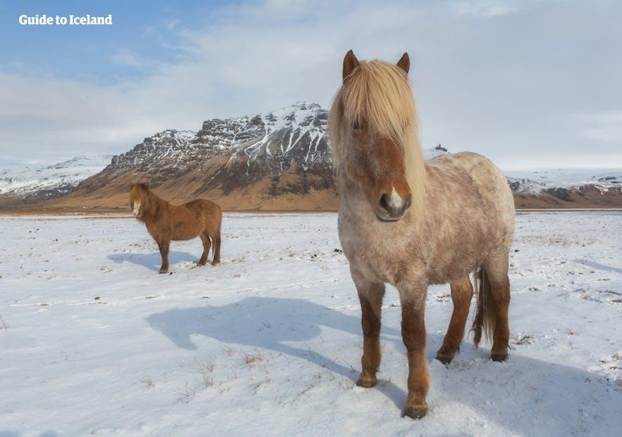 Islandzkie kuce na tle zimowego krajobrazu wyspy