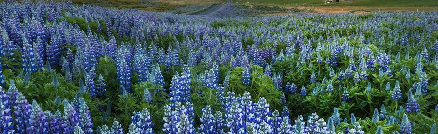 Latem Islandia pełna jest kwitnących łubinów