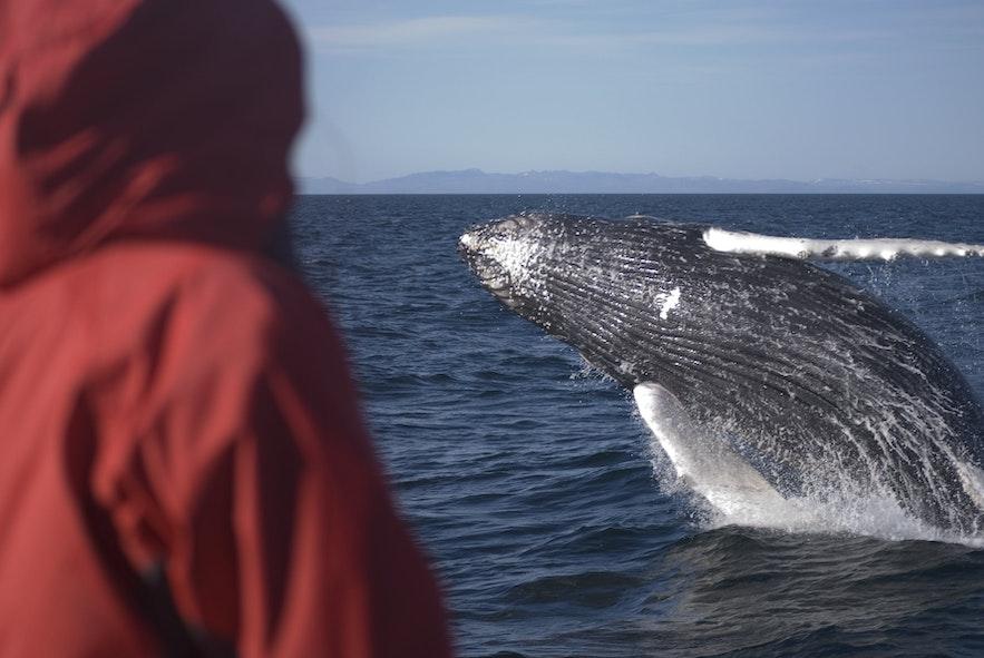 Es gibt in etwa 20 verschiedene Wal- und Delfinarten rund um Island