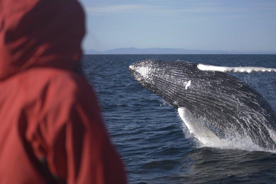 Vous pouvez voir des baleines en avril en Islande