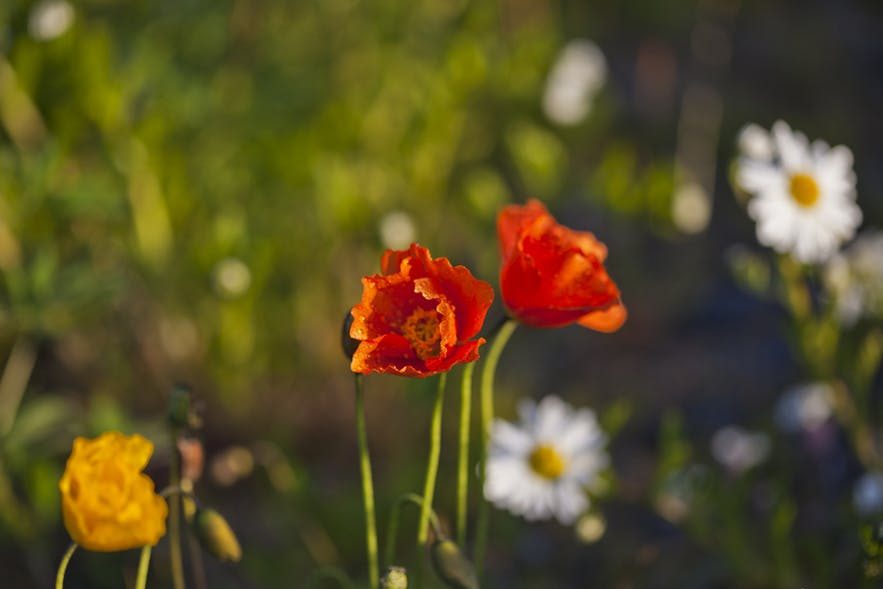Polne kwiaty na Islandii