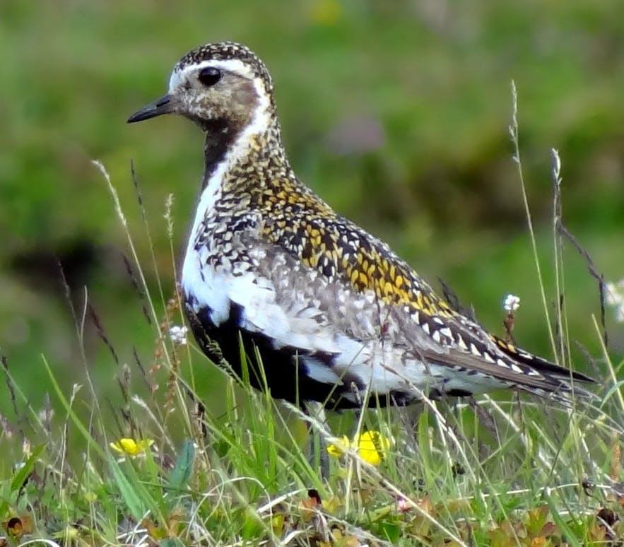 Un bel oiseau en avril en Islande