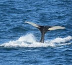 A humpback whale diving in the bountiful waters of Faxaflói.
