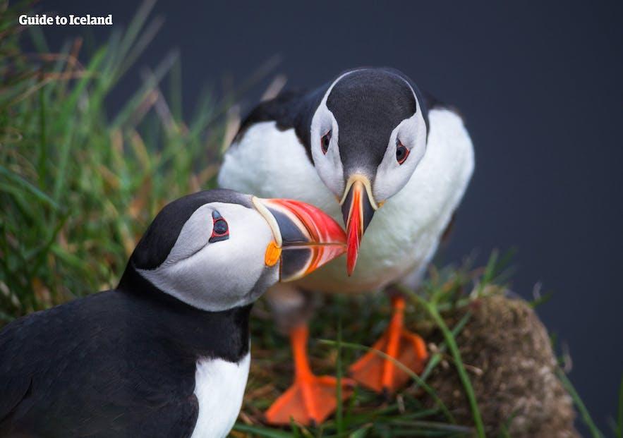 นกพัฟฟินในไอซ์แลนด์ในเดือนเมษายน