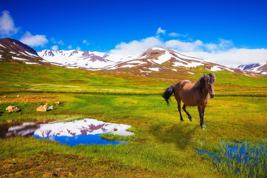 A horse roaming free in verdant East Iceland