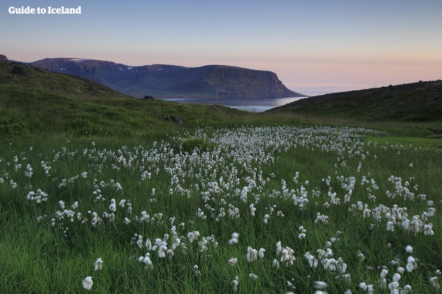 The view of a fjord across a flowery field