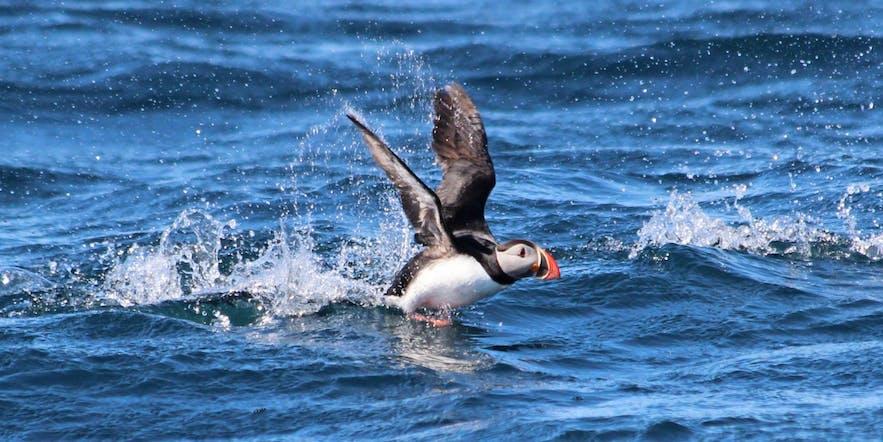 Lunnefåglar springer klumpigt över vattenytan för att kunna lyfta