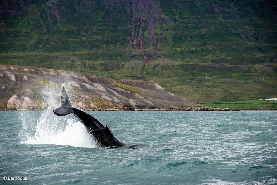 Humbak pokazujący swój ogon na tle zielonego fiordu.