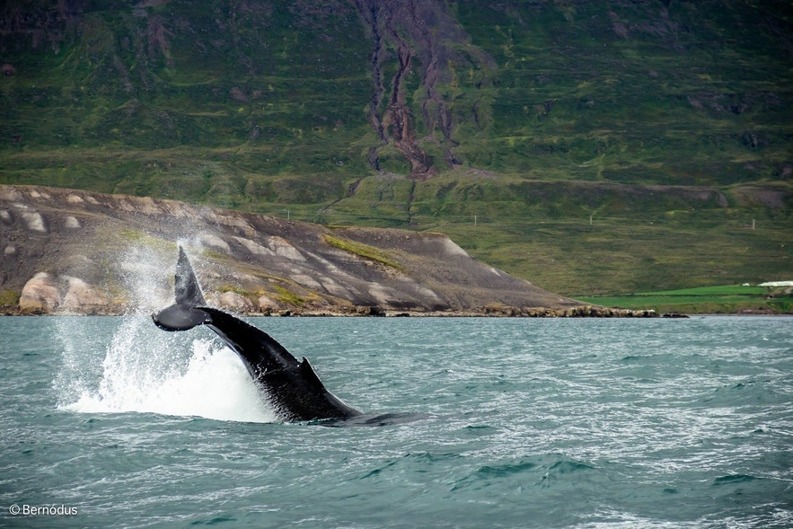 Een bultrug in een groene fjord slaat met zijn staart