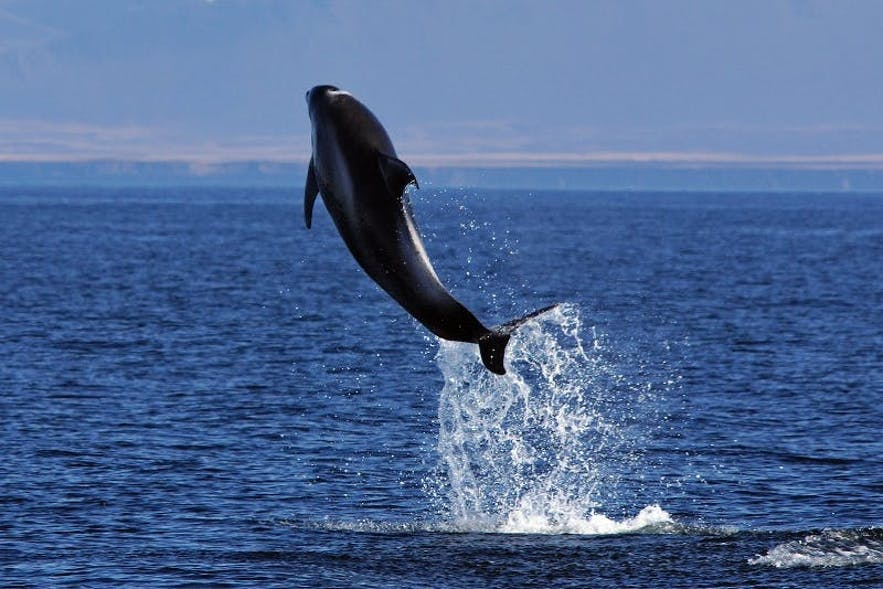 A white-beaked dolphin breaches