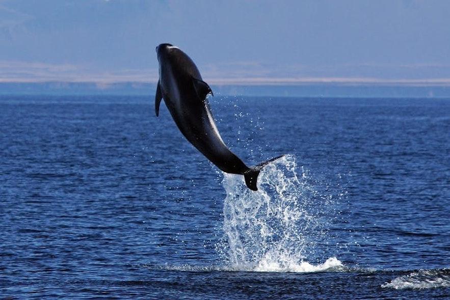 Wyskakujący z wody delfin białonosy.