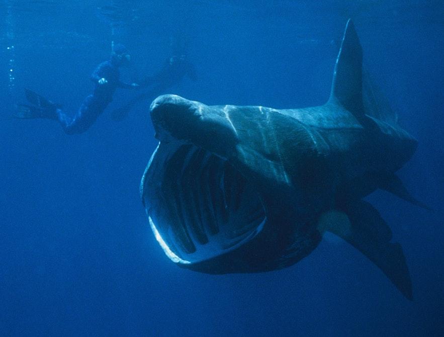 ฉลามอาบแดด นั้นตัวโตมาก แต่พวกเขากินแค่พืชเท่านั้น