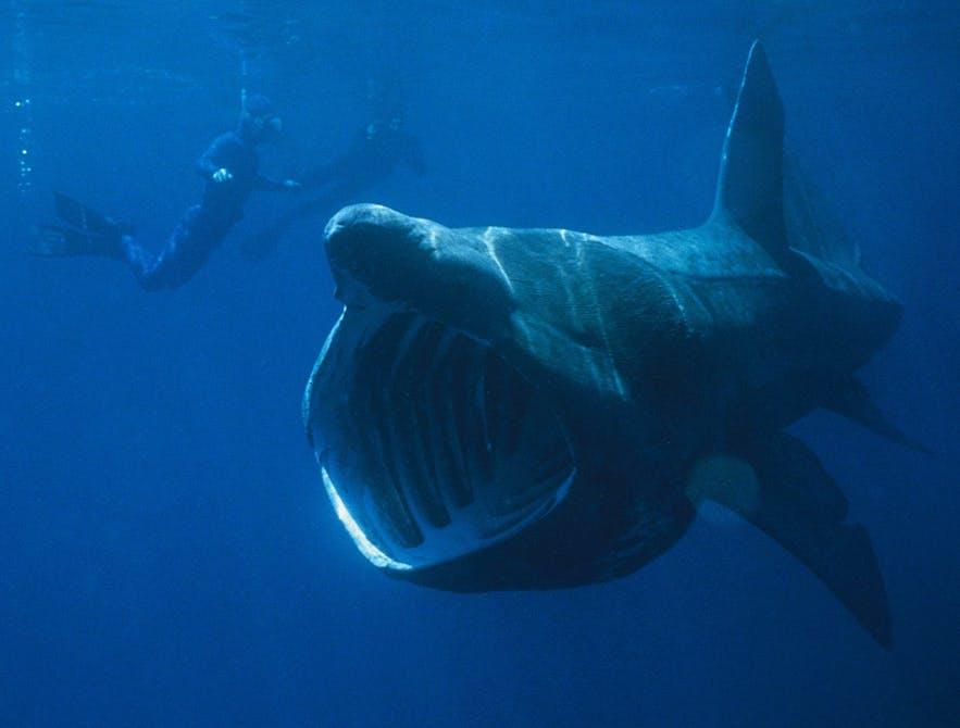 Reuzenhaaien zijn enorm, maar eten alleen plankton