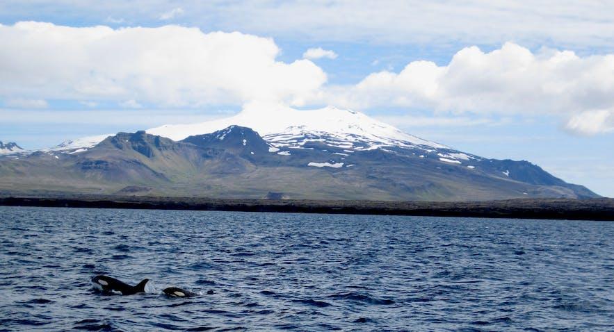 Orcas in front of Snæfellsjökull Glacier