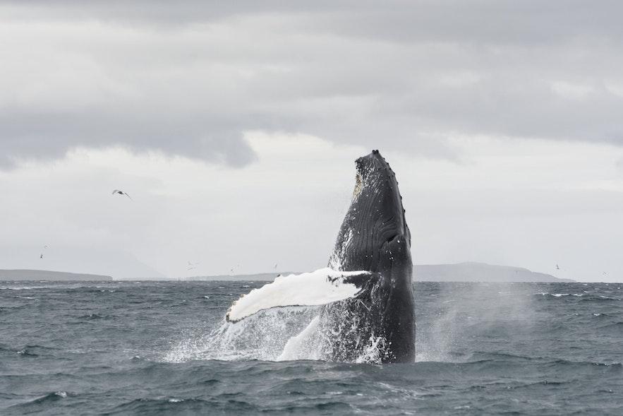 วาฬหลังค่อม ที่ตัวใหญ่