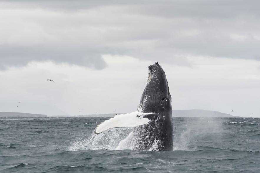 Восхитительный кит-горбач, выпрыгивающий из воды