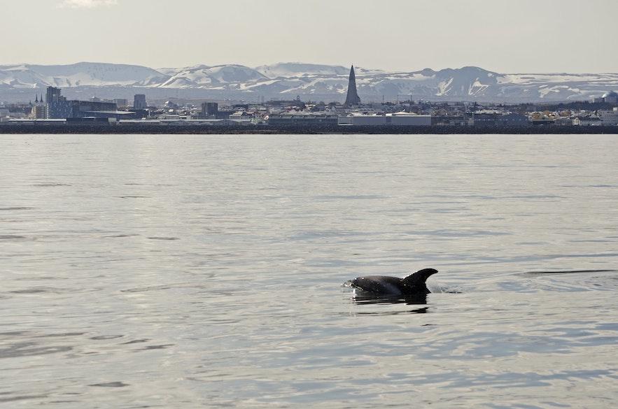 ทัวร์ดูวาฬจากเมืองเรคยาวิก