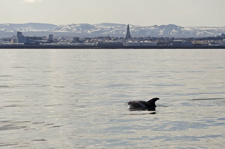Whale watching from the capital, Reykjavik.