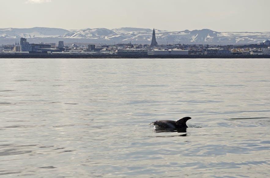 Наблюдение за китами в столице Исландии Рейкьявике