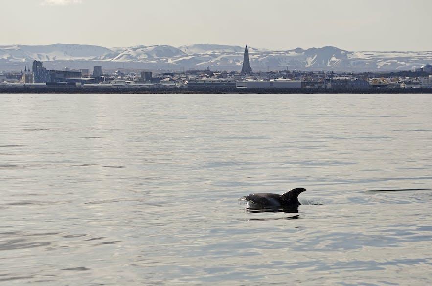 Zdjęcie z obserwacji wielorybów w stolicy, Reykjavíku.