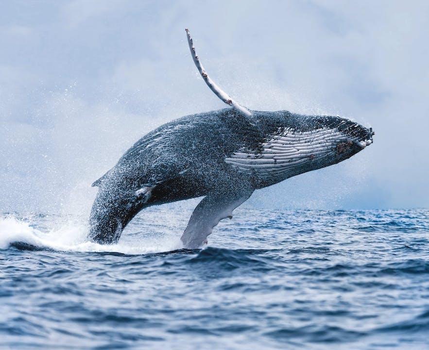 Majestatyczny wieloryb wyskakujący z wód przybrzeżnych Islandii.